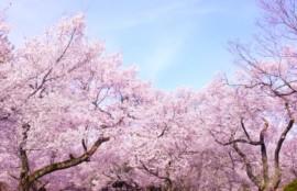 桜木群青空